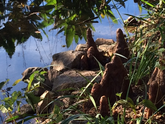 cypress knees around Sydnor Lake
