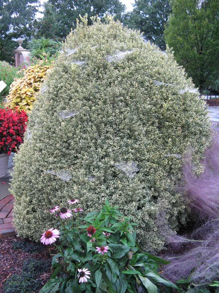The sight that stopped me in my tracks - the unassuming variegated boxwood covered in spider webs.