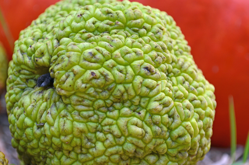 Maclura pomifera is also known as Osage Orange