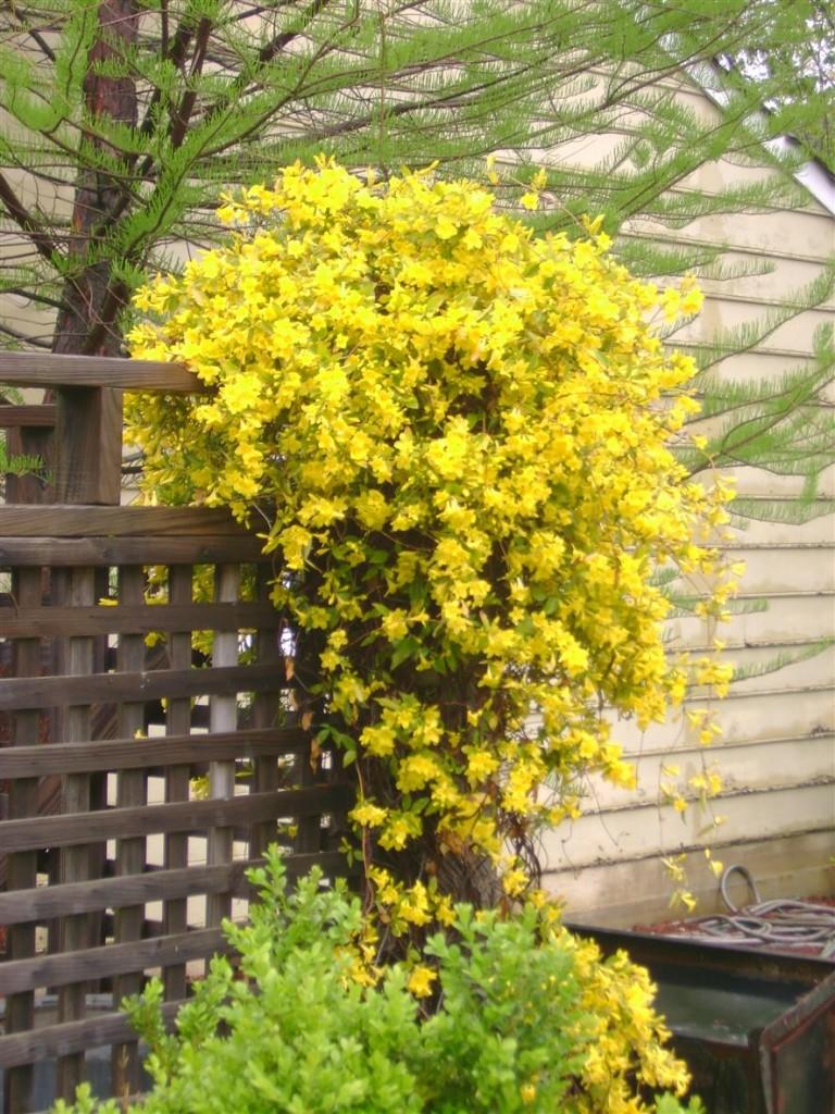 Jessamine vines boast abundant bright-yellow flowers in spring and fall.