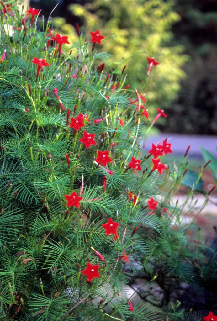 Cypress vine (Ipomoea quamoclit) is easily grown from seed and is a hummingbird favorite!
