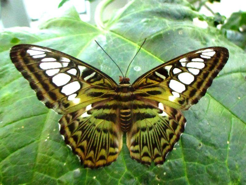 Parthenos sylvia lilacinus (Blue clipper) resting with wings open on large green leaf