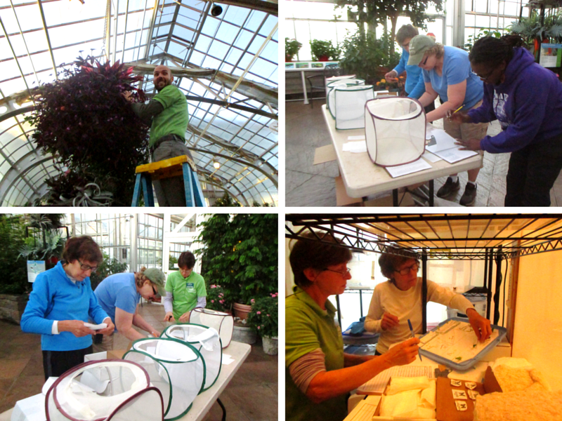 Butterfly Curators performing roundup duties from top left continuing clockwise: Matthew Daniel checks for butterflies in hanging baskets; Sherry Geise, Lisa Shiffert, and Jahneakia Bower record captured butterflies; Caroline Meehan and Sherry Geise package remaining chrysalids; Sherry Geise, Lisa Shiffert, and Caroline Meehan place butterflies in envelopes for shipping.