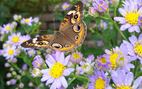 buckeye butterfly and Aster tataricus 'Jindai'