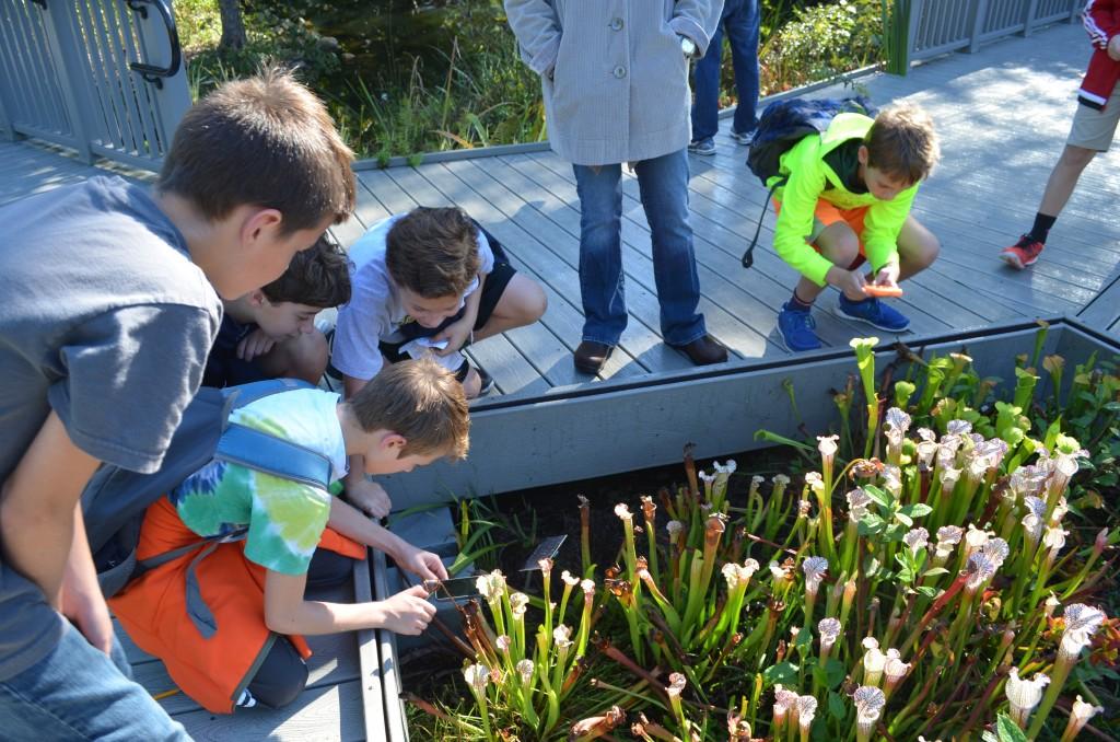 exploring the saracennia plants