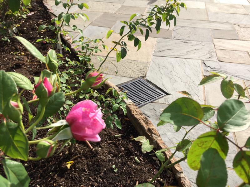 storm drain in rose garden