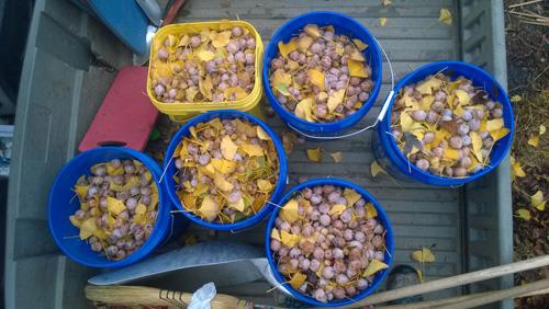 Buckets of ginkgo fruit.
