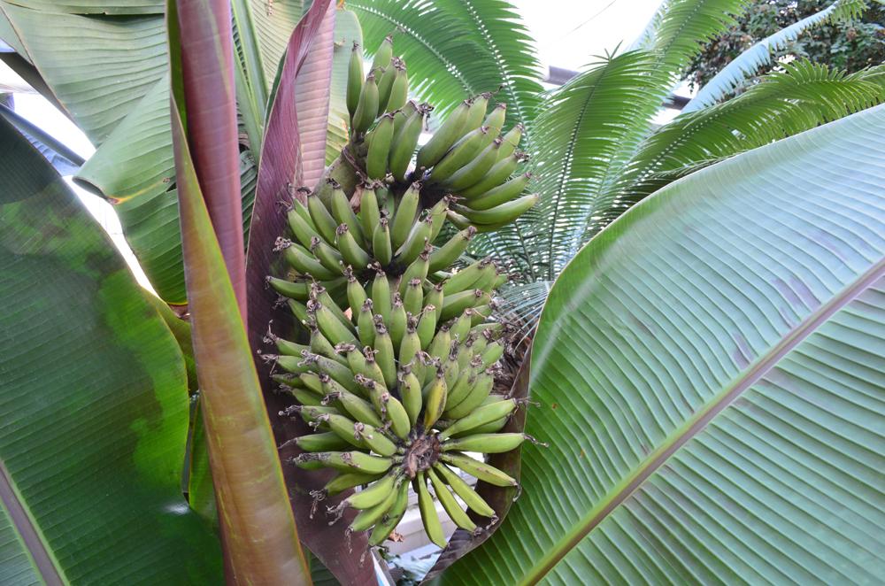bananas growing in the Conservatory -- Musa acuminata 'Sumatrana'