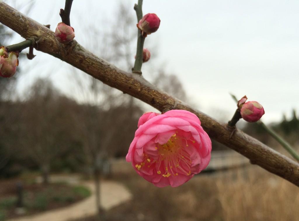 prunus mume dawn blooming