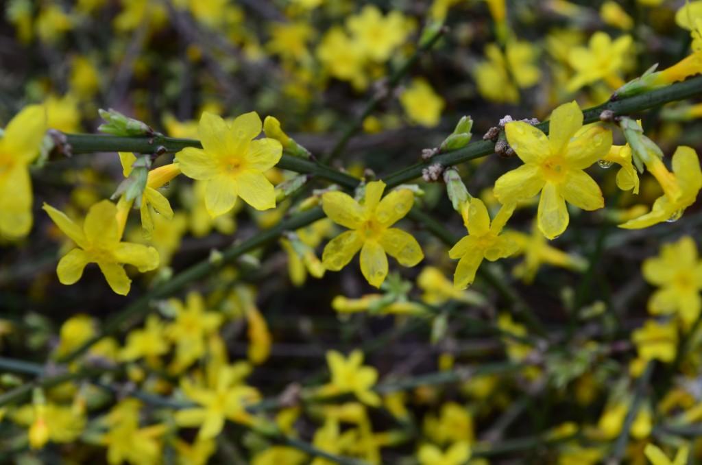 winter jasmine; jasminum nudiflorum