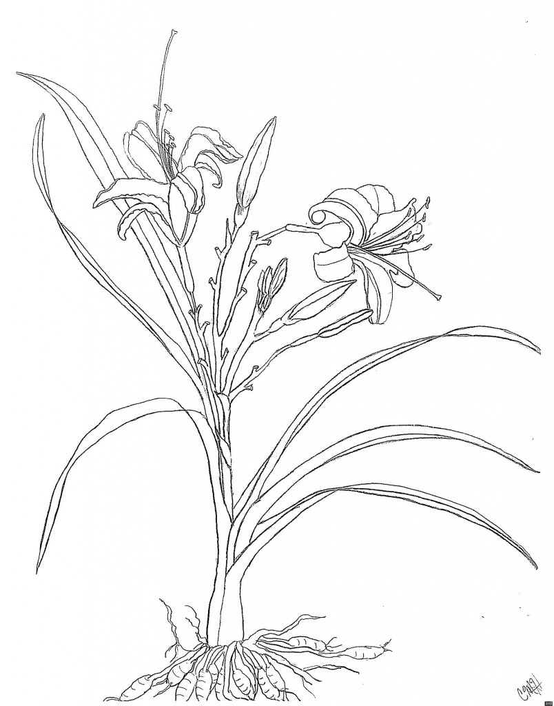 Daylilies, Pen drawing by Catherine Hoang