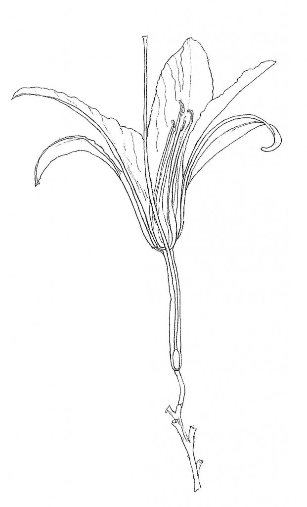 Day Lily drawing by educator Catherine Hoang