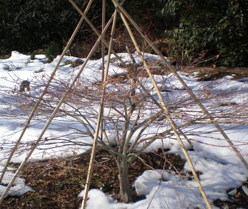 Acer palmatum 'Hanami Nishiki' with a protective tepee.