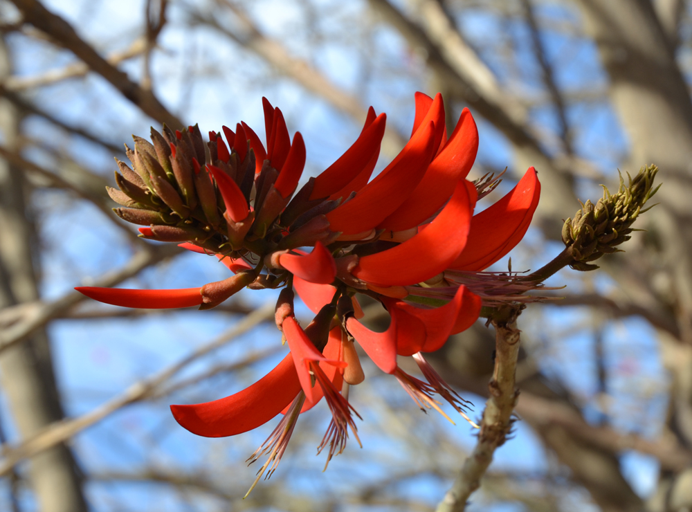 Red Coral tree (Erythrina) flower at South Coast Botanic Garden