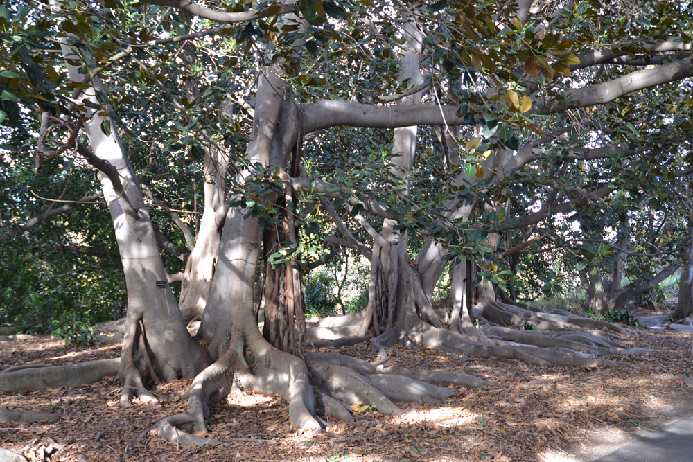 Grove of ficus trees at South Coast Botanic Garden