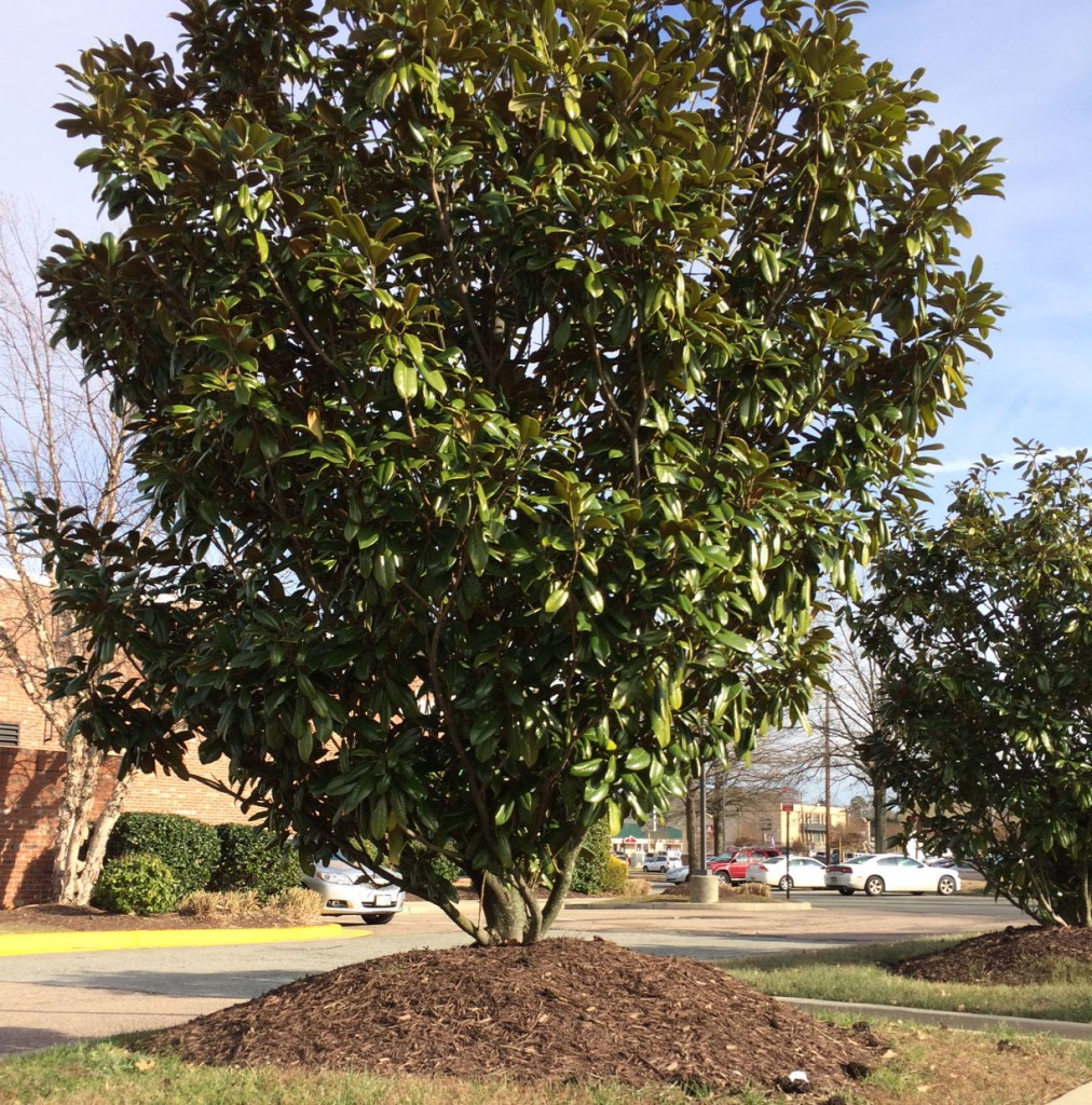 "A magnolia tree with a mulch ""volcano"" at a nearby shopping center."