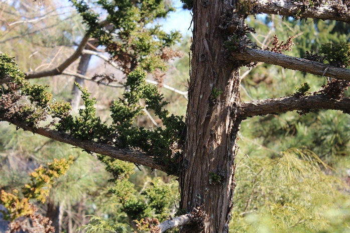 The shaggy bark of the Cryptomeria 'Jindia Sugi'