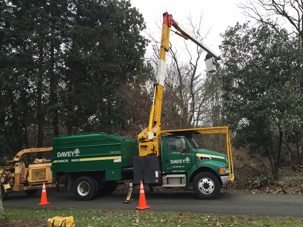 A bucket truck being used to prune a tree