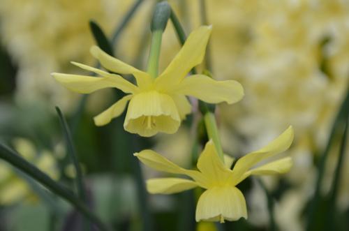 Triandrus Daffodil Narcissus 'Hawera'