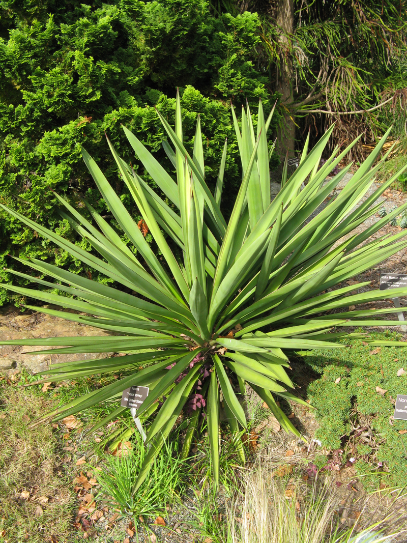 Yucca in the landscape