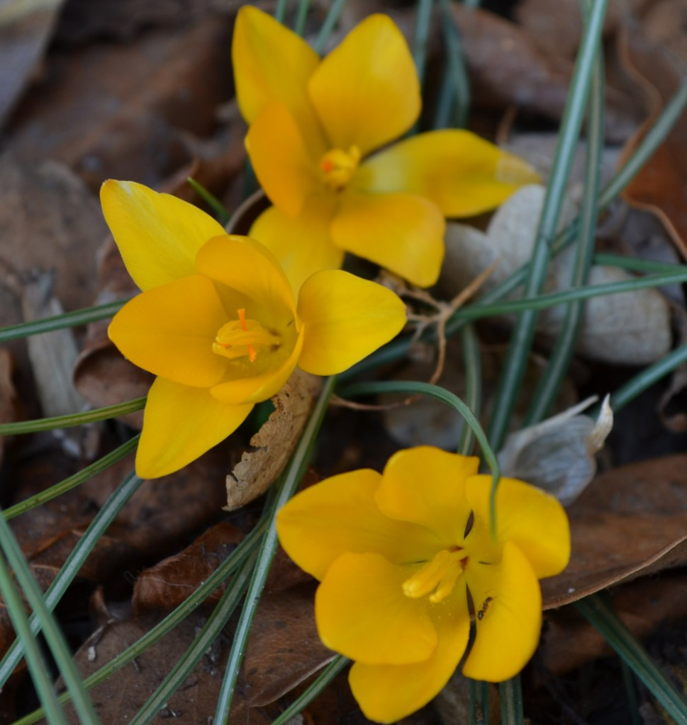 yellow crocus and ant