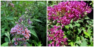 the right plant in the right place; butterfly bush and hybrid