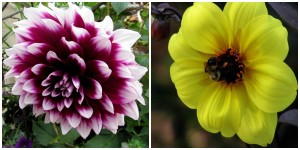 the right plant in the right place; dahlia purple and yellow