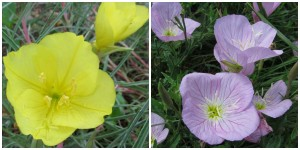 the right plant in the right place; evening primrose yellow and purple