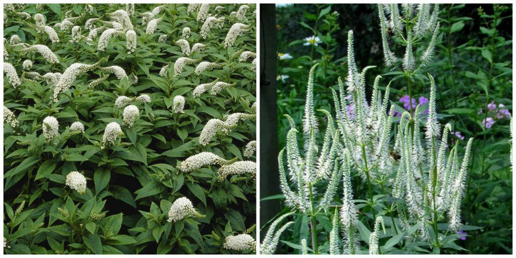 the right plant in the right place; gooseneck loosestrife and veronica