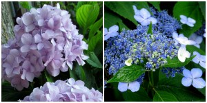 the right plant in the right place; hydrangea purple and lacecap