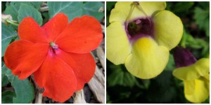 the right plant in the right place; impatiens orange and sunpatiens