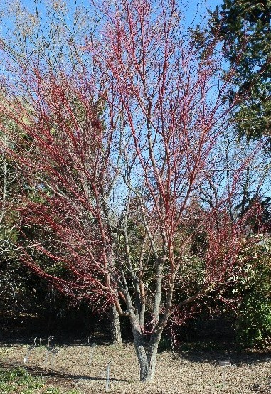 Japanese maple (Acer palmatum) 'Sango-Kaku'