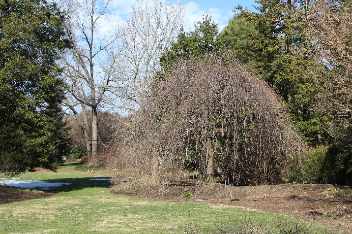 Prunus subhirtella var. pendula