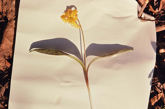A yellow flower with curled petals and two leaves on a skinny stem, photographed on white paper.