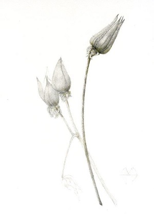 Introduction to Drawing for Botanical Illustration Hazel Buys