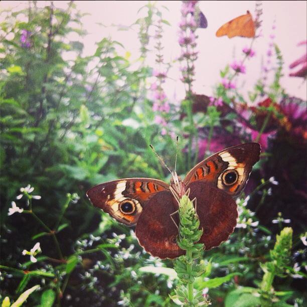 Junonia coenia; buckeye butterfly in Butterflies LIVE!