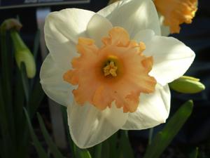 Lora Robins daffodil
