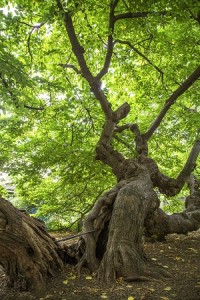 Mulberry Tree Visiting Special Trees Walk
