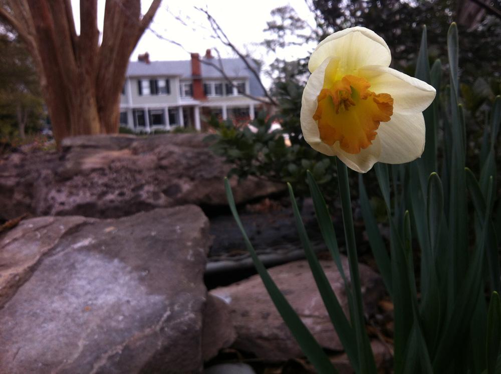 Narcissus 'Lora Robins'