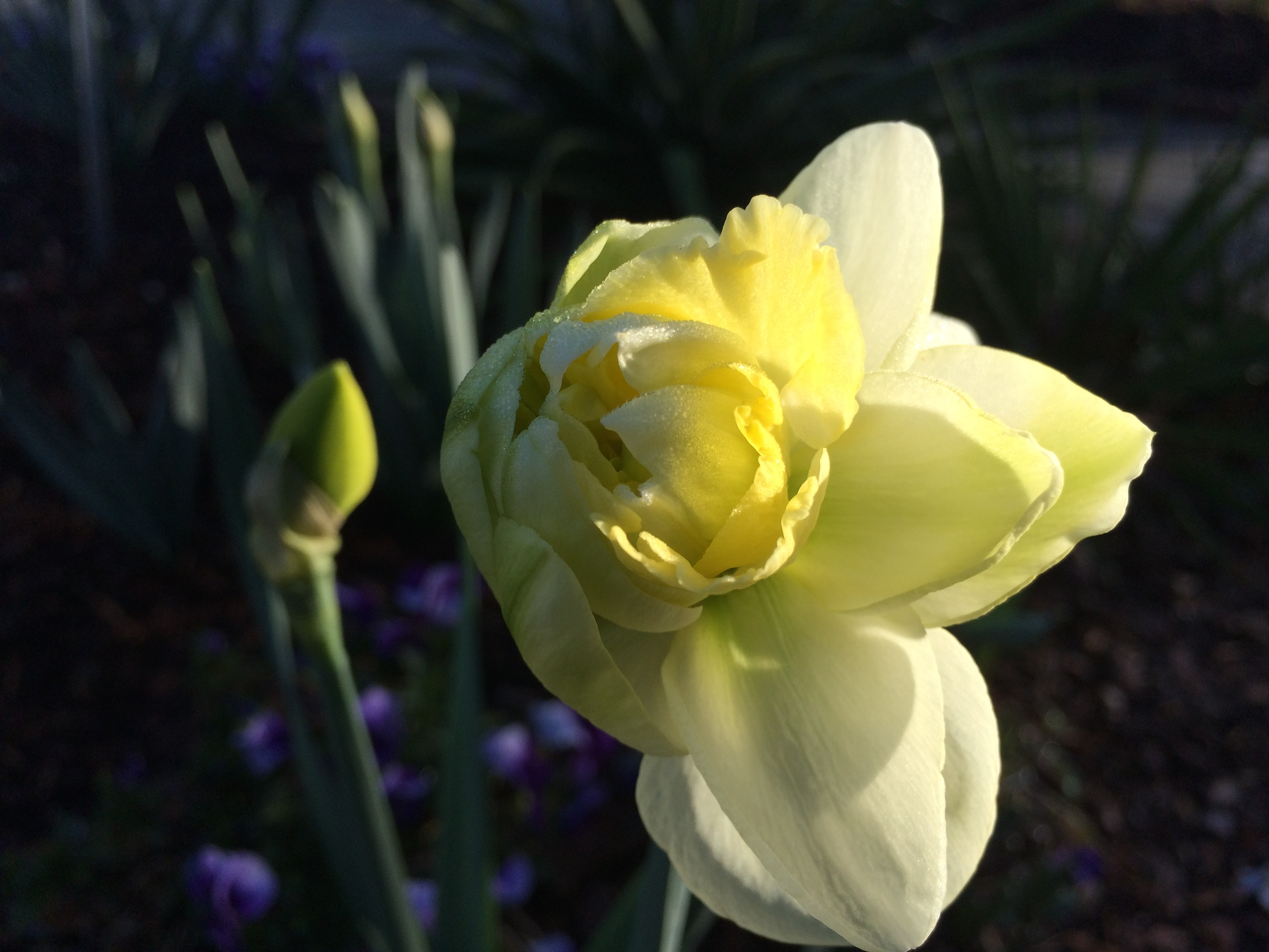 Narcissus 'Polar Ice' double daffodil for healing benefits of nature