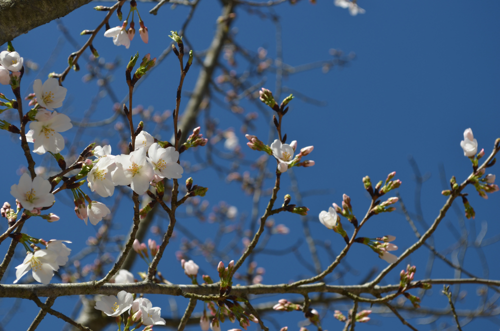 white cherry blossoms and a blue sky
