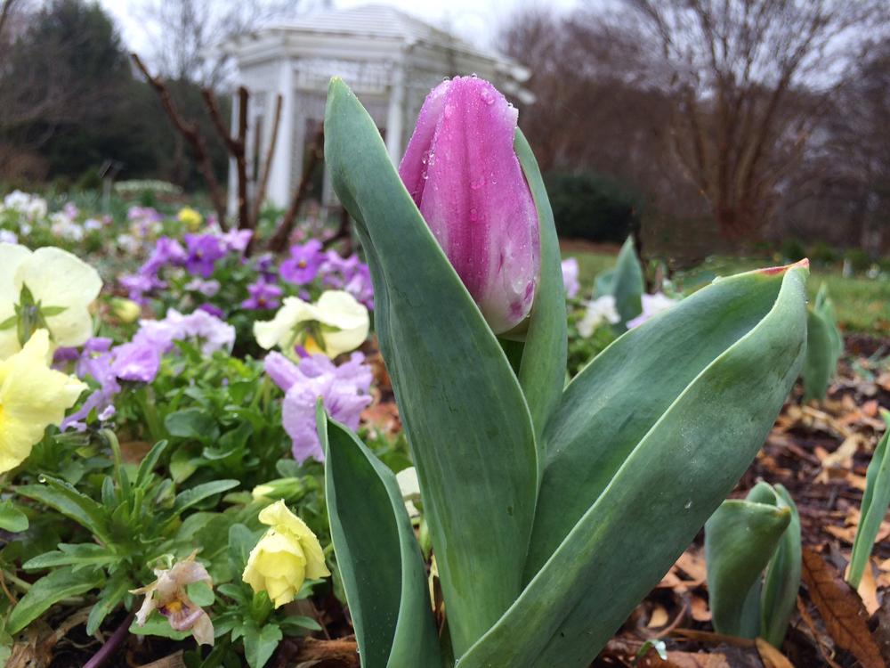pink tulip growing degree days