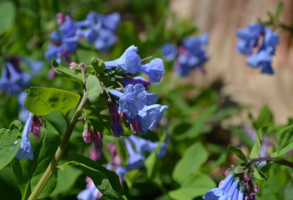 virginia bluebells blooming in clumps