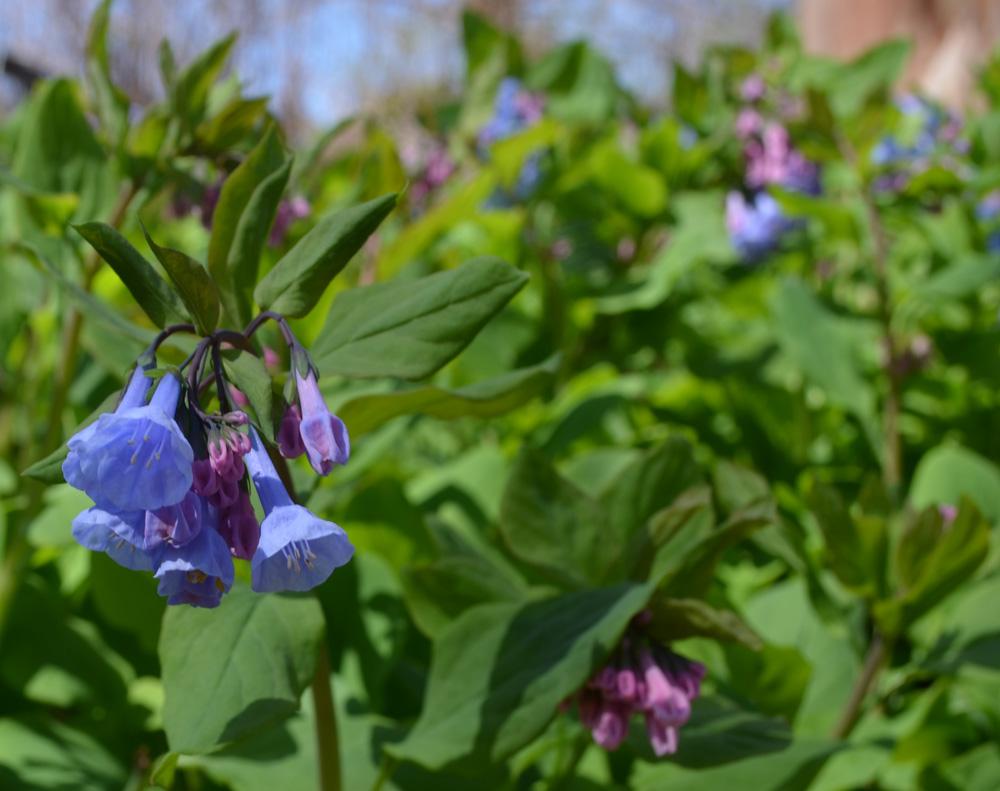 Virginia bluebell. Mertensia virginica