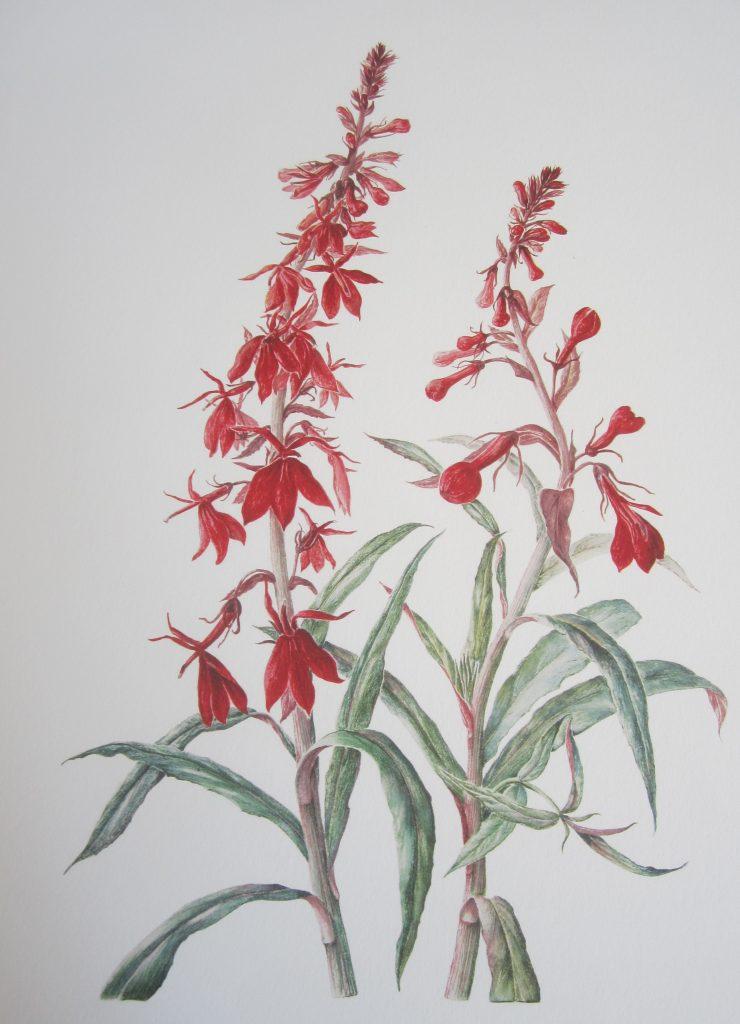 botanical illustration of Lobelia cardinalis 'Queen Victoria' by Valerie Bradburn, UK.