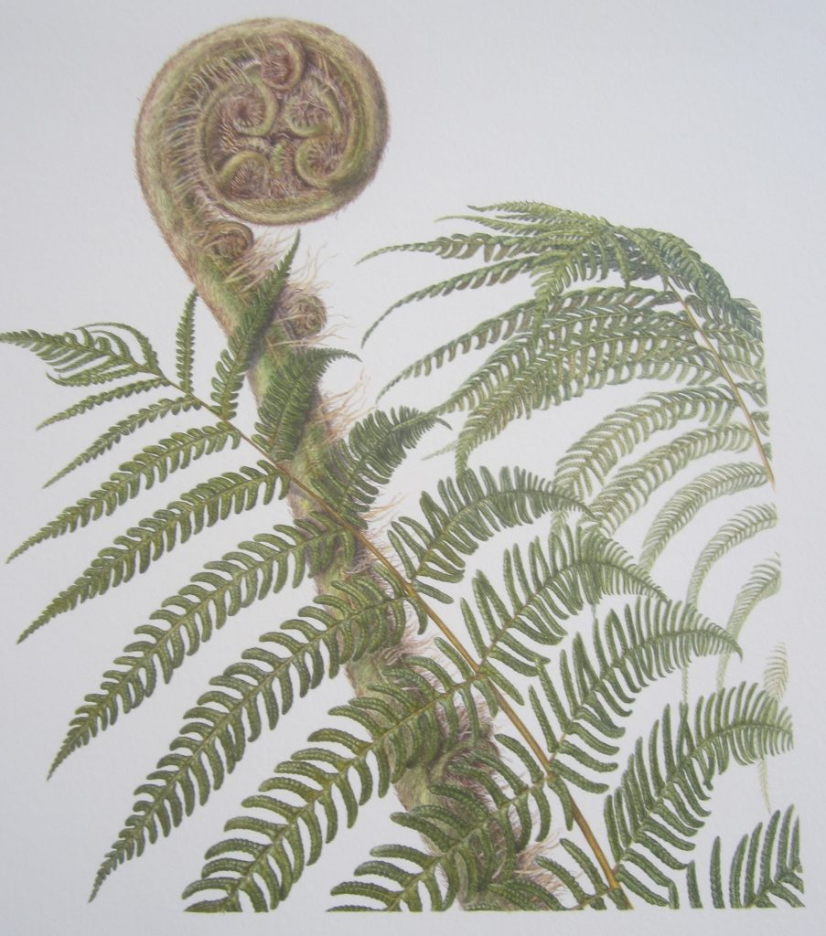 Cyathea australis by Bevely Allen, Australia. Image courtesy of of Addison Publications.