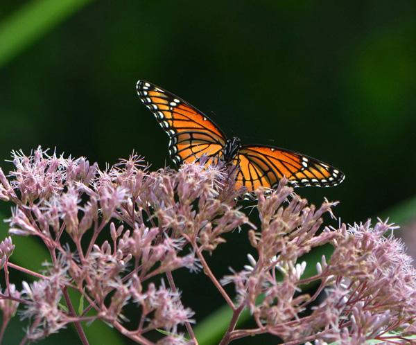 Monarch Butterfly on Joe Pye Weed in West Island Garden by Jonah Holland