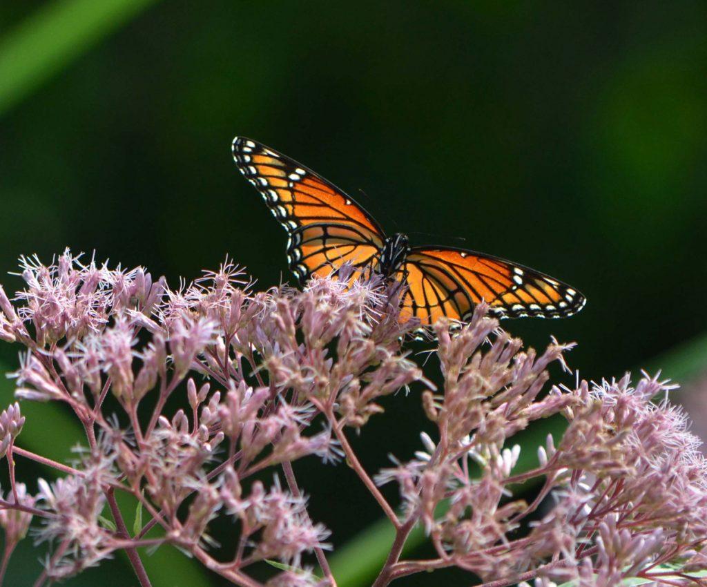 Butterfly on Joe Pye Weed in West Island Garden by Jonah Holland