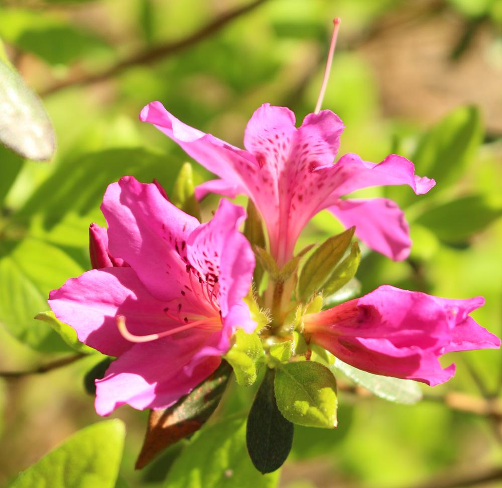 Gable Azalea, Rhododendron 'Karen'