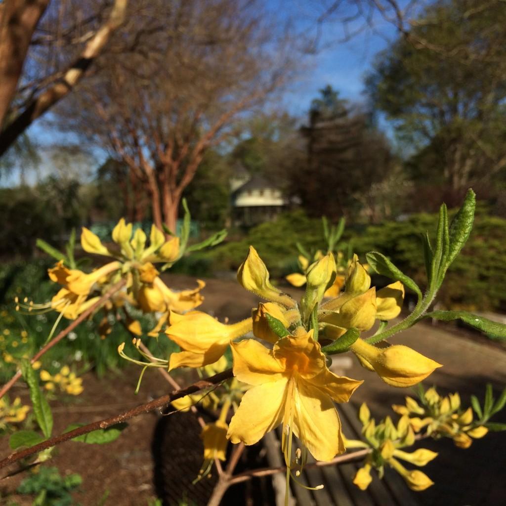 florida azaleas in Flagler Garden